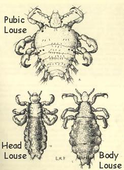 pubic lice essay Read syphilis - a sexually transmitted disease free essay and over 88,000 other research documents pubic lice and other sexually transmitted diseases.