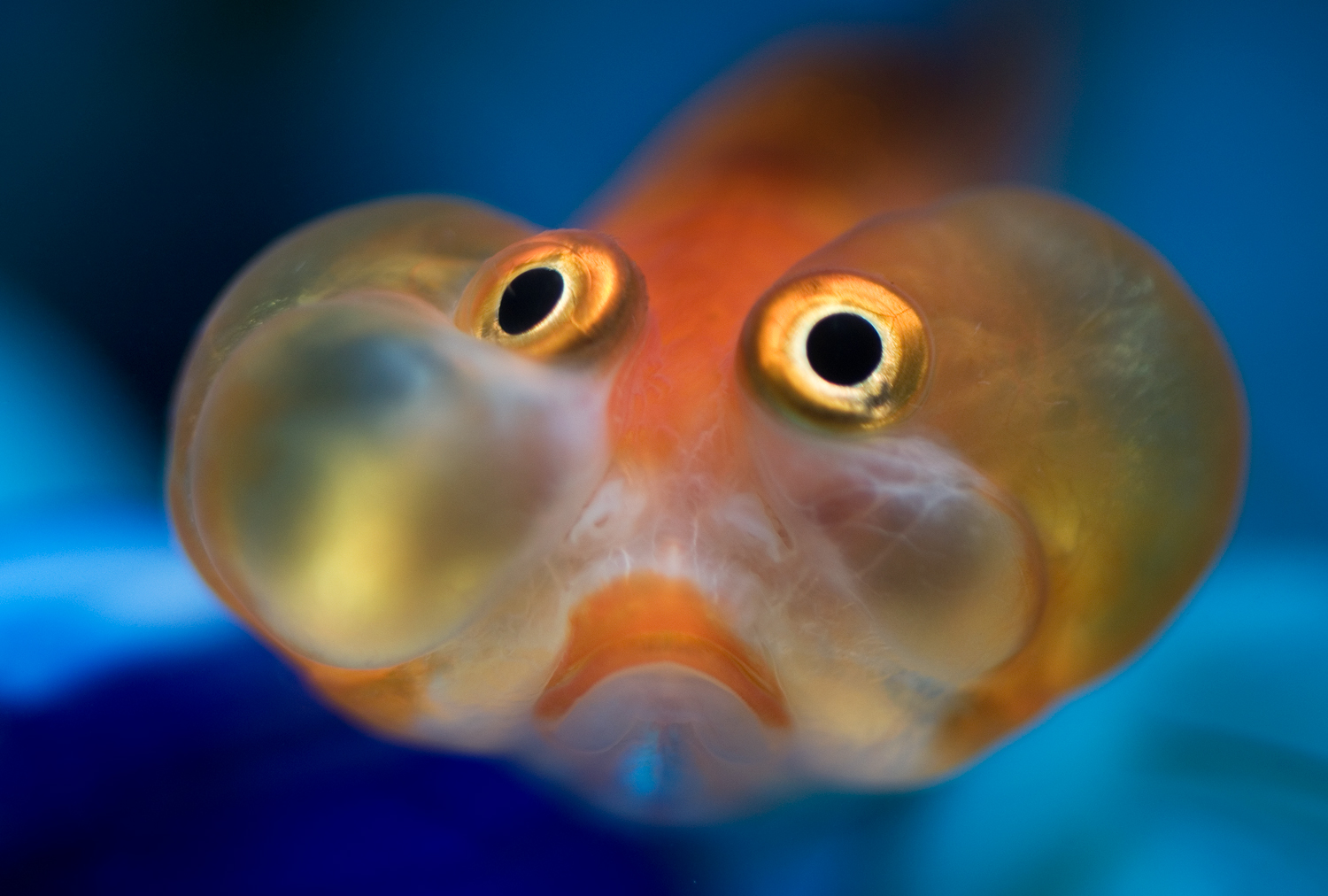 How to photograph a live bubble eye goldfish by emily k for Live to fish