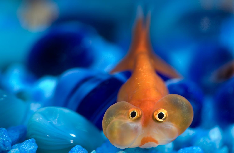 Bubble Eye Fish - Sex Porn Images