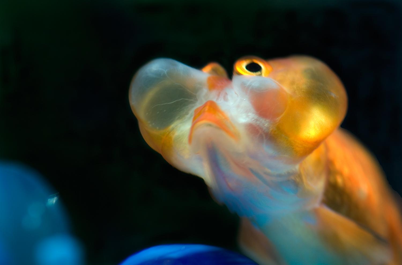 Bubble Eye : Black Bubble Eye Goldfish A live bubble eye goldfish