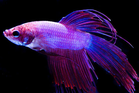 Fish a closer look for Betta fish behavior