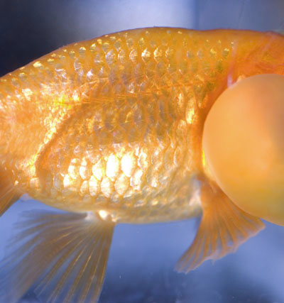 Goldfish fins for List of fish with fins and scales