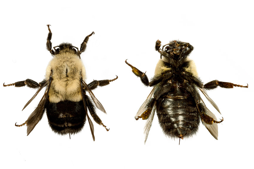 Images of Bombus Impatiens created by Julie Ducharme