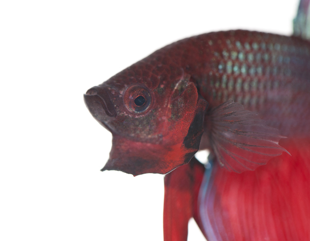 Siamese fighting fish for Betta fish personality