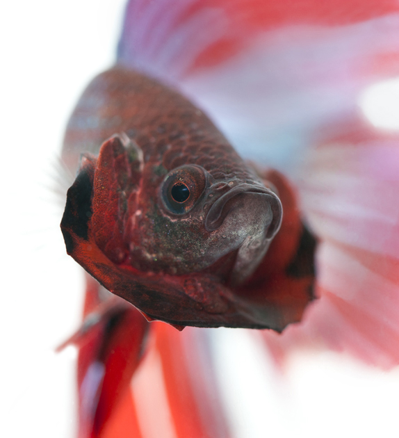 Siamese fighting fish for Do all fish have gills