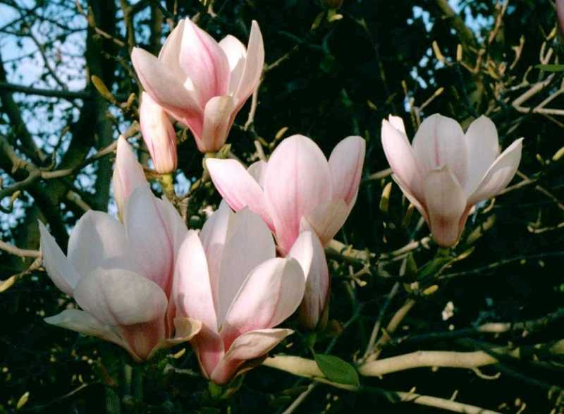 http://www.microscopy-uk.org.uk/mag/ctpollen/Magnolia.jpg