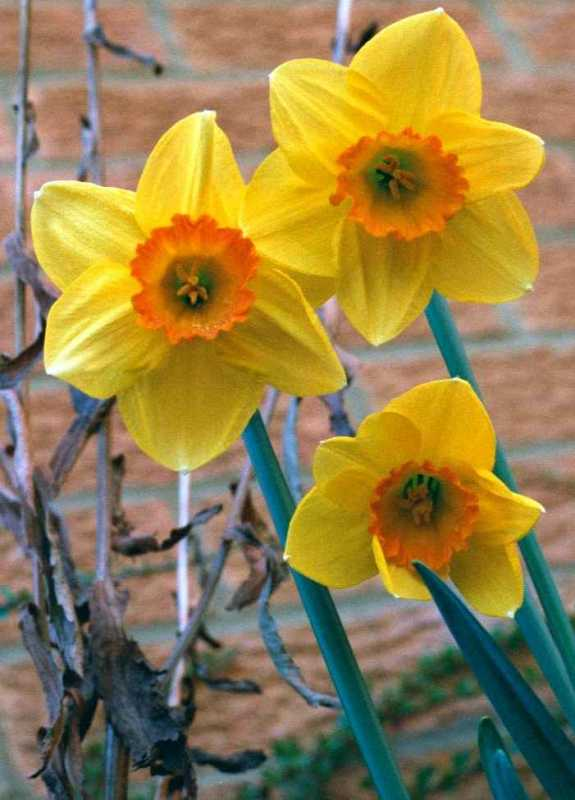 Mic uk yellow orange daffodil flower image flower images common name yellow orange daffodil latin name narcissus species mightylinksfo