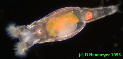 Microscopy Uk Micscape Image Of The Month Rotifer