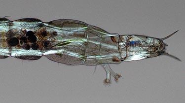 Help me identify this aquarium parasite pics included for Freshwater fish parasite identification