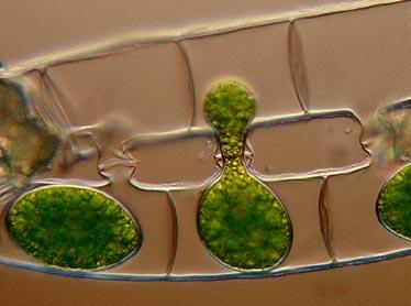 Spirogyra conjugating ccuart Images