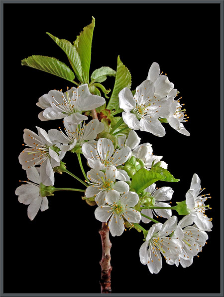 Mic uk a close up view of wild cherry blossoms a closer look at a blossom shows the details of its reproductive structures a single pale green pistil composed of a cylindrical style supporting a mightylinksfo