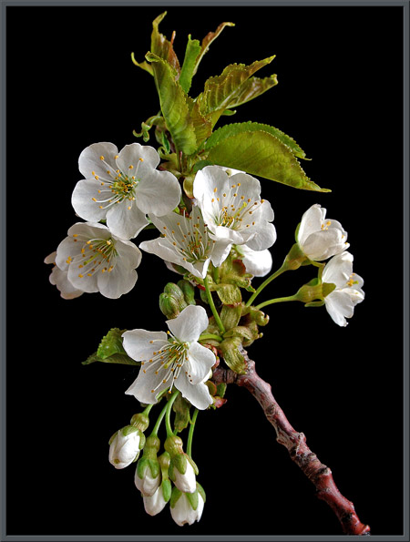 A Close Up View Of Wild Cherry Blossoms