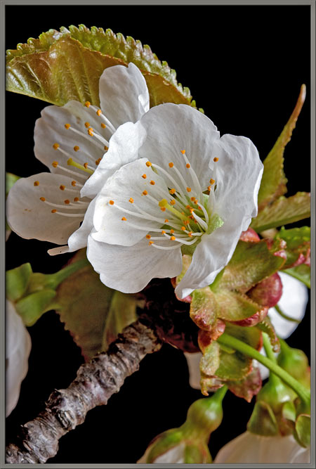 Mic uk a close up view of wild cherry blossoms up to about twenty stamens surround the pistil in a given flower each anther is usually encrusted with pollen grains mightylinksfo