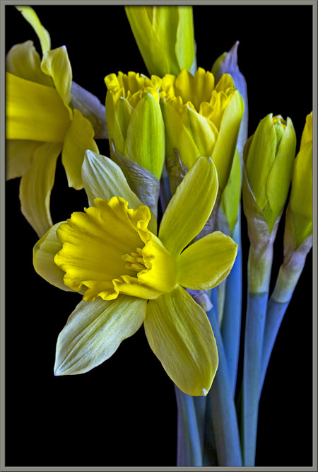 diagram of flower parts a close up view of the daffodil narcissus pseudonarcissus  a close up view of the daffodil narcissus pseudonarcissus