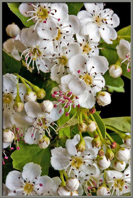 Mic uk a close up view of the single seed hawthorn notice below that when a flower first opens the anthers are large and a bright red colour in less than twenty four hours the anthers appear to shrink mightylinksfo