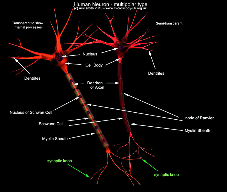 Microscope nerve cell diagram online schematic diagram mic uk human cells an overview for light microscopists rh microscopy uk org uk brain nerve ccuart Image collections