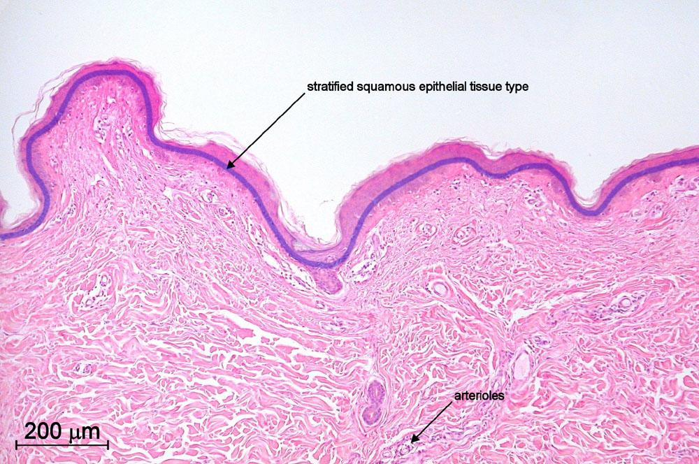 Mic Uk Human Histology For Amateur Microscopists
