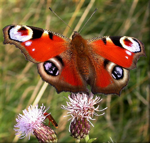 Butterfly Genus Species - Peacock