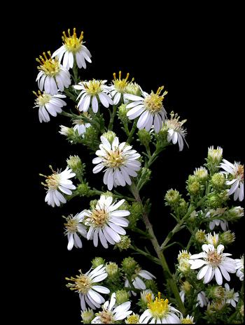 Mic Uk A Close Up View Of The Wild Flower Small Flowred White Aster