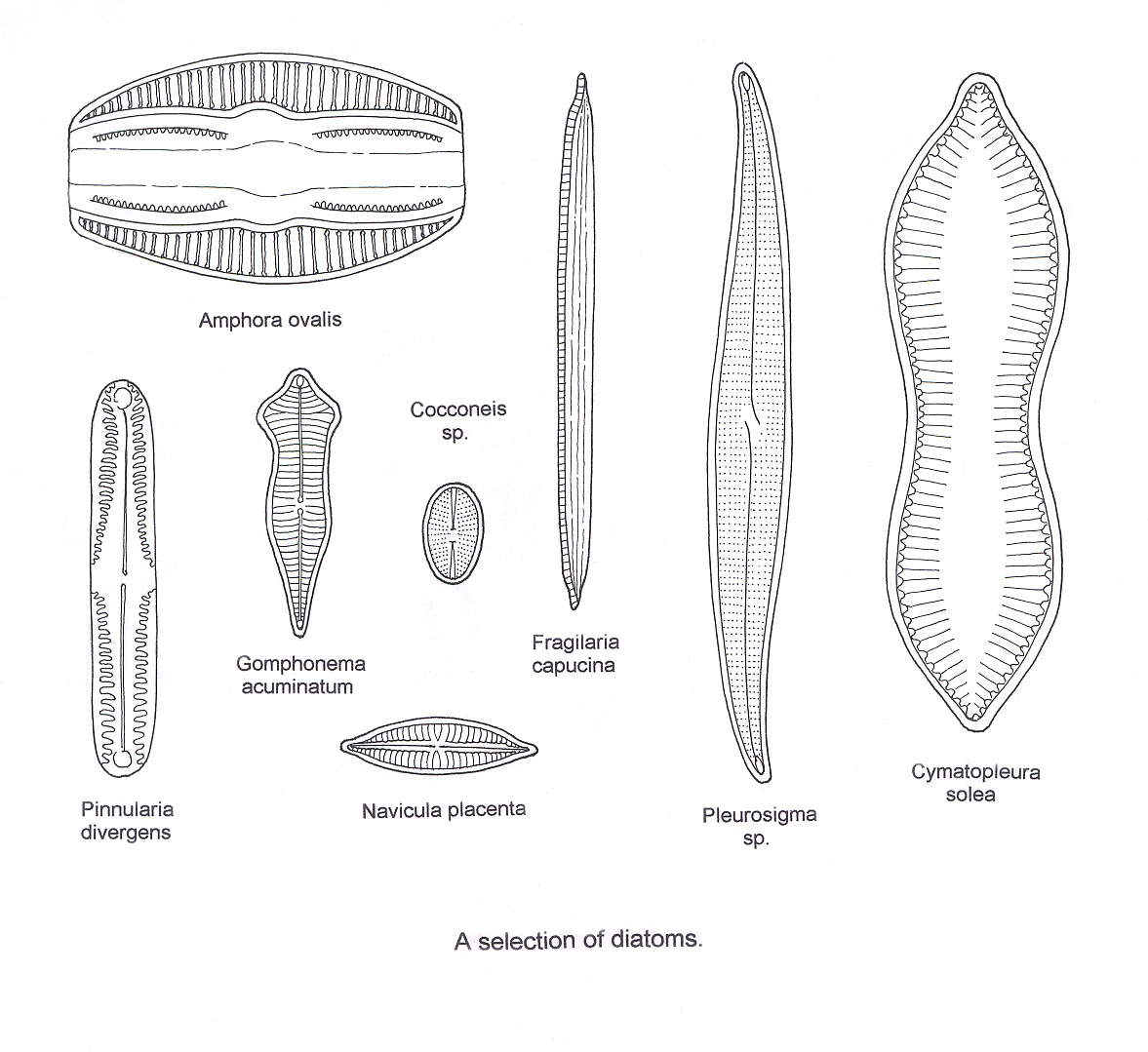 diatom diagram - photo #6