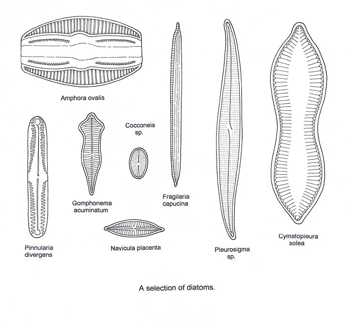 diatoms labeled related keywords