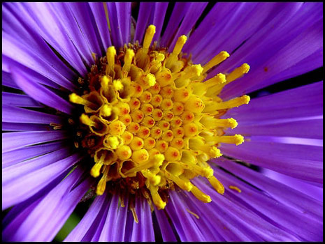 Mic uk a close up view of the wildflower new england aster aster if we move in closer the individual disk flowers can be observed out of each tubular corolla a stamen protrudes the stamen is the pollen bearing mightylinksfo