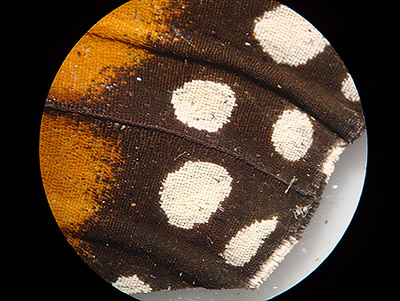 Bee wings under microscope 40x gallery diagram writing sample mic uk getting started with a low power microscope monarch butterfly wing detail a prepared slide sciox Image collections