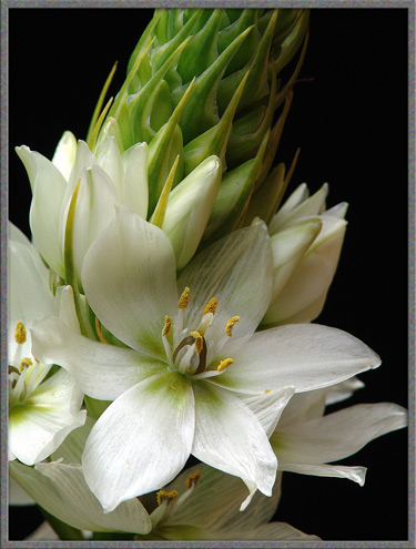 Mic uk a close up view of three ornithogalum flowers the white blooms with pale green colouration at the centres are composed of six petals as the flowers age the green colouration tends to become lighter mightylinksfo