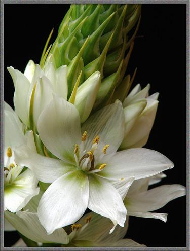 Mic Uk A Close Up View Of Three Ornithogalum Flowers