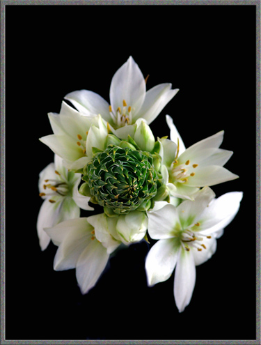 A close-up view of three Ornithogalum flowers.