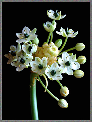 Mic uk a close up view of three ornithogalum flowers this plant has a very long leafless stem often more than a metre in length with a roughly umbrella shaped arrangement of small waxy white flowers on mightylinksfo