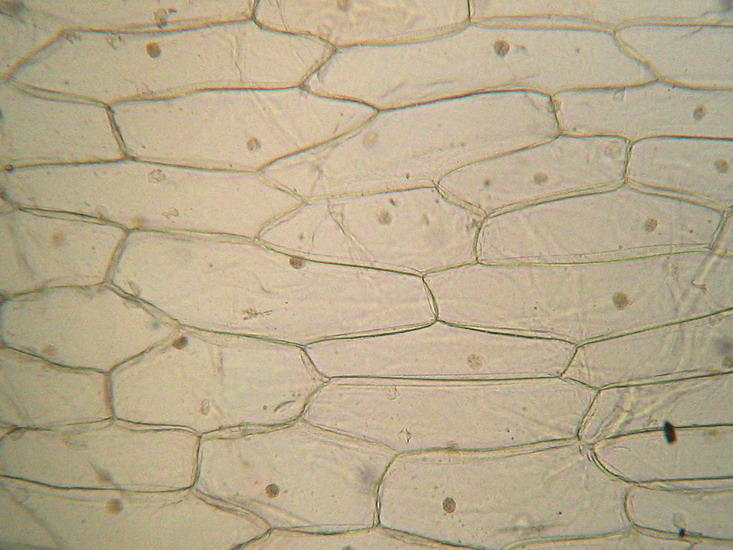 examination of onion epidermal cells Used examination of an onion epidermis images of microbial cells onion why was iodine used to stain onion epidermal cells - the q epidermal cells of an onion practical report - bing.