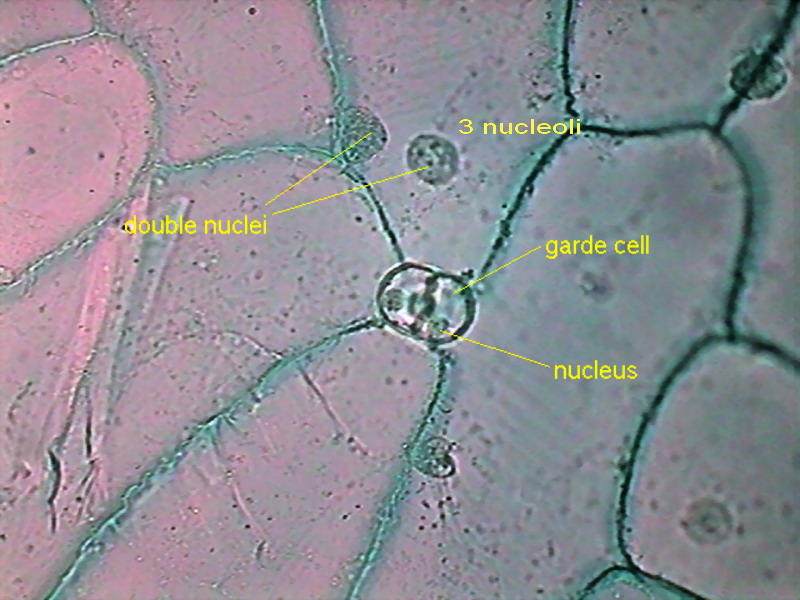 onion epidermal cell in sucrose solution To find the point at which there is no change in mass or length of a specific plant tissue in a certain sucrose solution, the point of equilibrium, where sucrose and water contents are both equal in the solution and the tissue.
