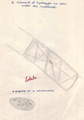 Mic uk reflections on studying spirogyra a classic school biology own view of a specimen as seen under the lomo biolam microscope which were widely used in practicals right above spirogyra was a popular example of an ccuart Images
