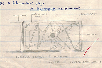 Mic uk reflections on studying spirogyra a classic school biology course work that likely required a redrawing of the diagram of an idealised cell from the accompanying textbook ccuart Images
