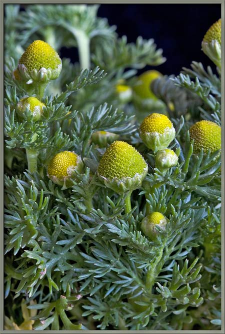 Mic uk a close up view of the wildflower pineapple weed the dome shaped flower heads appear to be covered by an extremely thin transparent membrane that eventually splits open to reveal the yellow pollen mightylinksfo