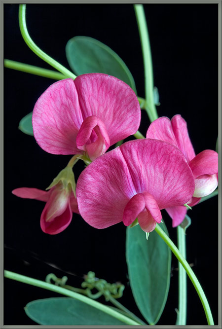 I am trying to design a tattoo of a sweet pea for myself, but I'm not sure