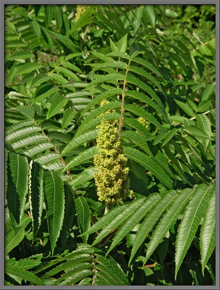 Mic uk test the male sumac tree the image below shows part of a male tree the yellow green pyramidal structure at the center of the image is called a panicle mightylinksfo