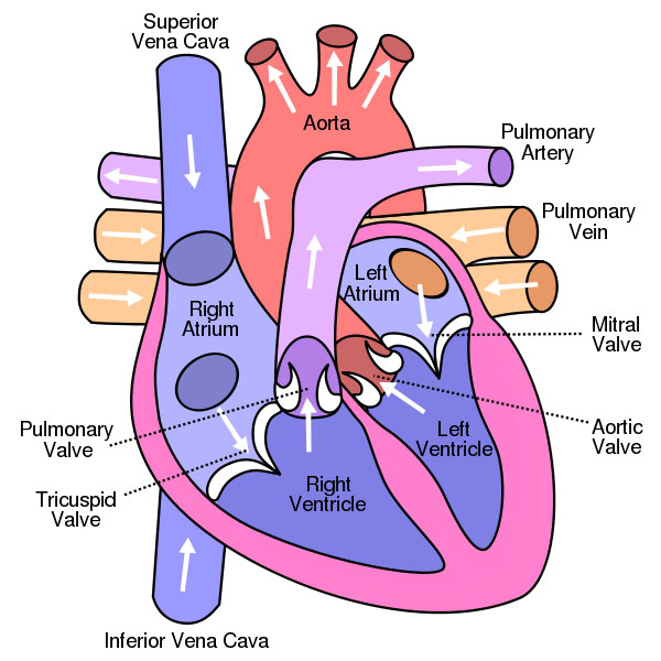 Mic uk the human heart by mol smith diagram of heart creative commons licence ccuart Gallery