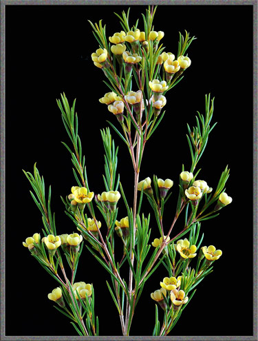 Mic uk a close up view of the geraldton waxflower a close up of a portion of the main stem reveals this rather strange looking branching point with two larger diameter green flower stems and two narrower mightylinksfo