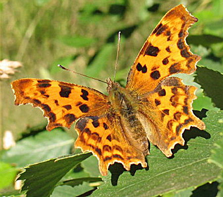 Common British Butterflies at a Glance