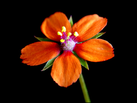 A close-up view of the wildflower scarlet pimpernel