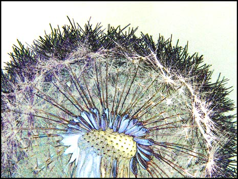 Mic Uk A Close Up View Of The Wildflower Dandelion