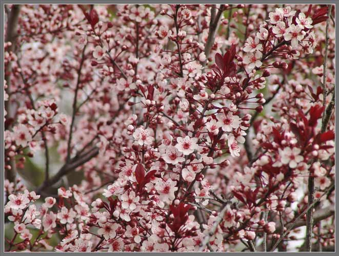An Added Bonus Provided By The Tree Is Profusion Of Pinkish White Flowers That Bloom In Early Spring Image Above Two Images Follow Show This