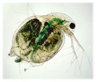 Water fleas