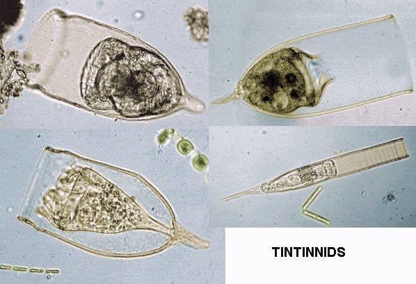 mic uk marine protozoa