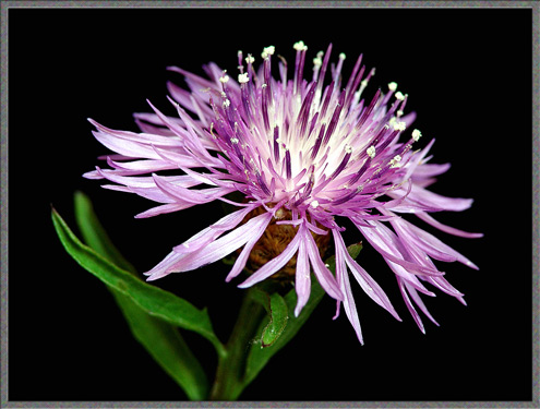 knapweed flowers images