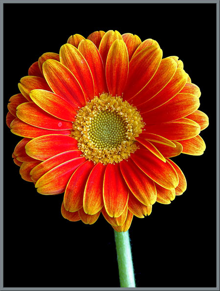 A Close-up View of the Gerbera Daisy