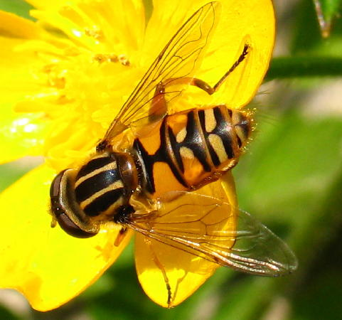Heliophilus pendulas  Sun Fly. Mic UK  Hoverflies   All About Hoverflies