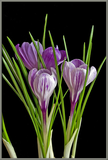 A Close Up View Of The Common Crocus